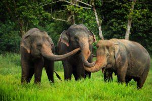 Minneriya national park elephant