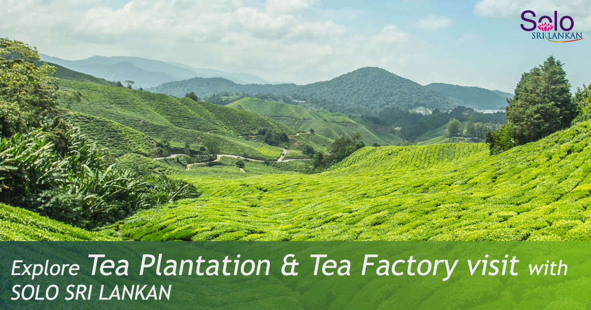 TEA PLANTATION & TEA FACTORY VISIT