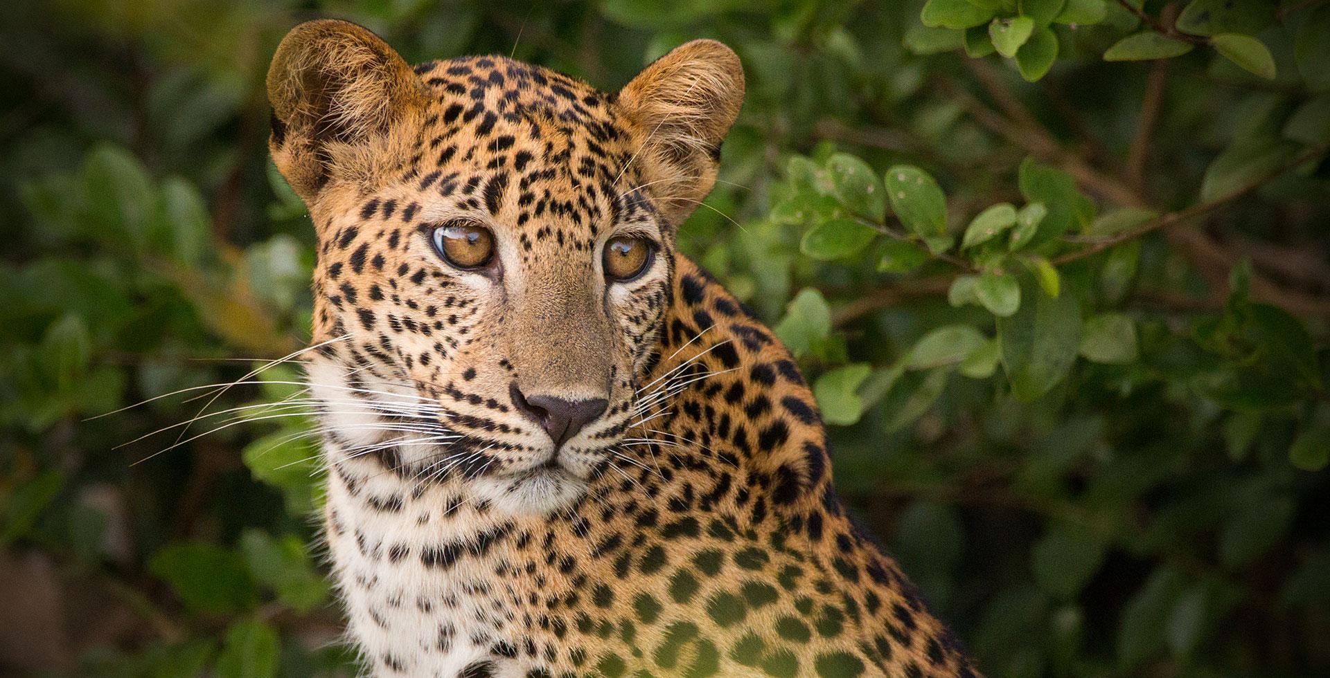 srilankan leopard