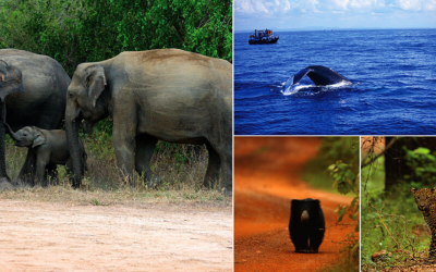 THE 'BIG FOUR OF SRI LANKA' AND WHERE TO SEE THEM!