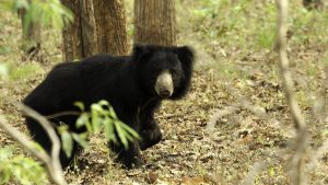 The Sloth Bear