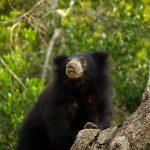 A88J5058 Sloth bear Wilpattu 5