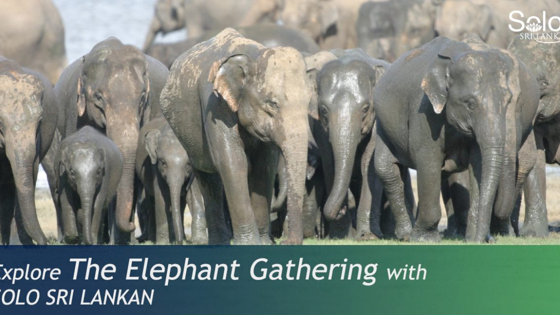 THE ELEPHANT GATHERING AT MINNERIYA NATIONAL PARK