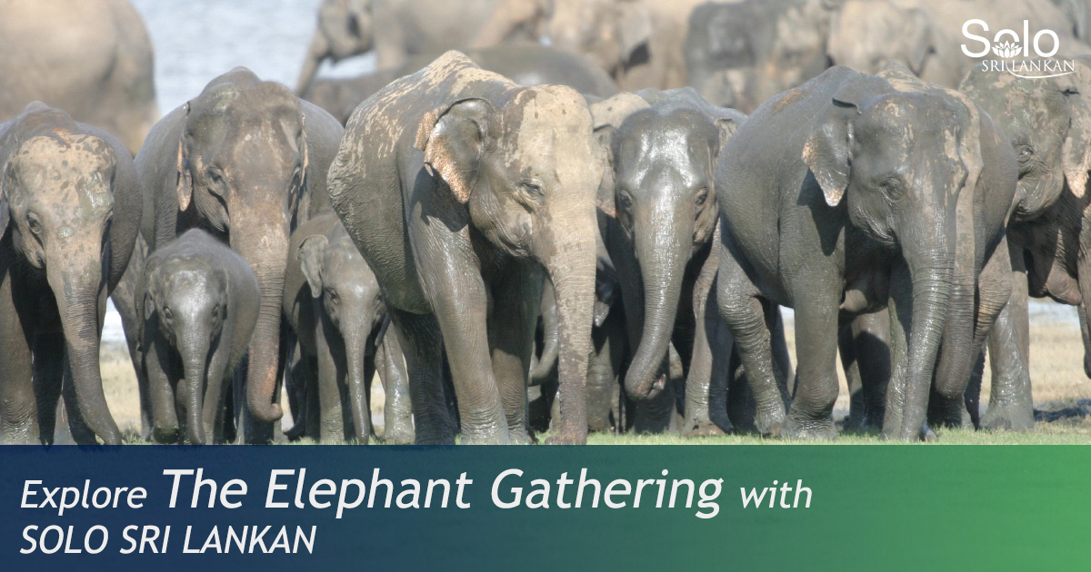 THE ELEPHANT GATHERING AT MINNERIYA NATIONAL PARK